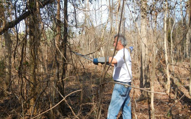 Photo: Volunteer removing kudzu at Seven Oaks