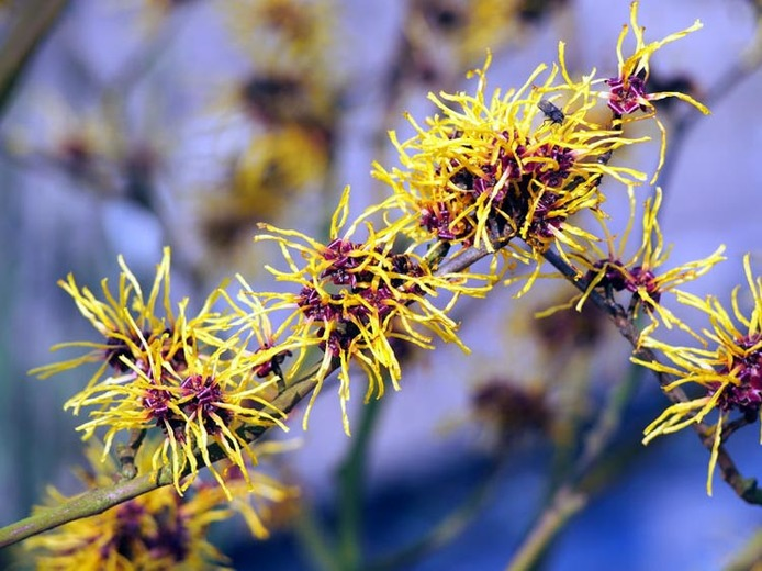 witch hazel close