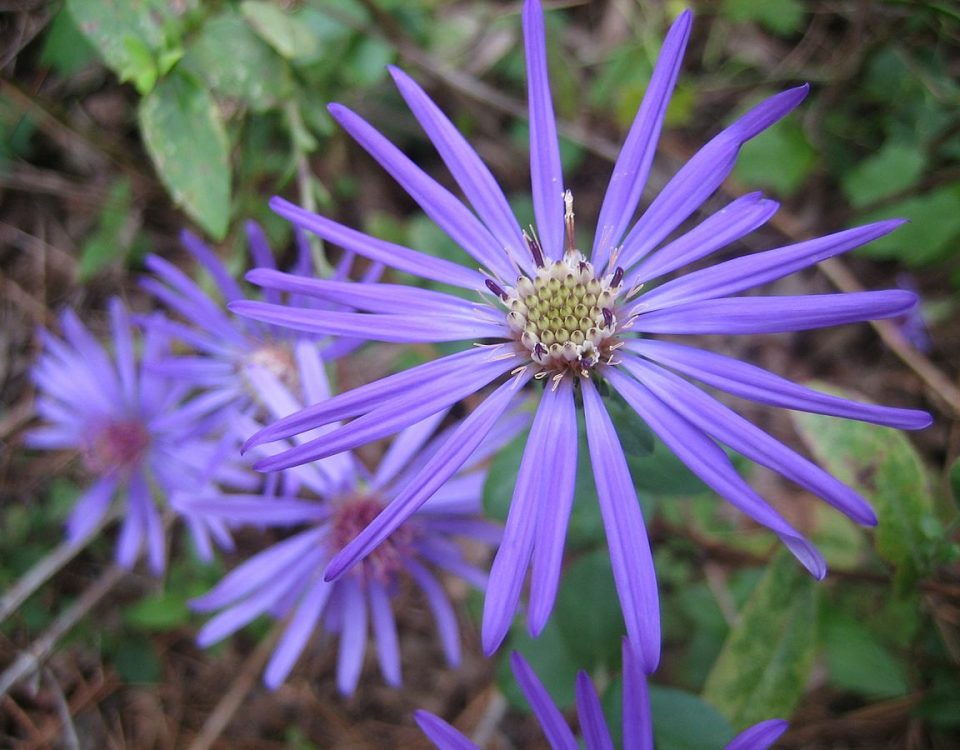 Symphyotrichum_georgianum,_Georgia_aster,_earlier_bloom